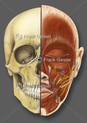 Kopf, Frontalansicht des Kopfes mit Skelett, Muskeln und Nerven - Medical Pictures