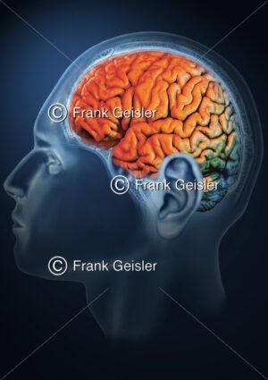 Kopf mit Gehirn, Lateralansicht der Hemisphäre - Medical Pictures