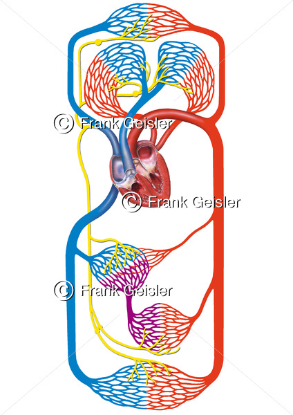 Kreislaufschema Blutkreislauf, Blutzirkulation beim Menschen - Medical Pictures