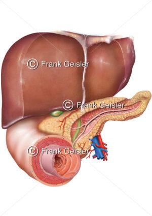 Lagebeziehungen des Pankreas zu Leber und Duodenum - Medical Pictures
