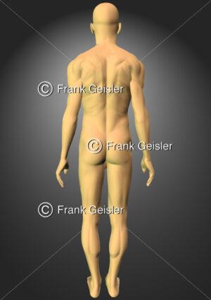 Mann, tastbare Strukturen (Muskulatur) Körper von dorsal - Medical Pictures