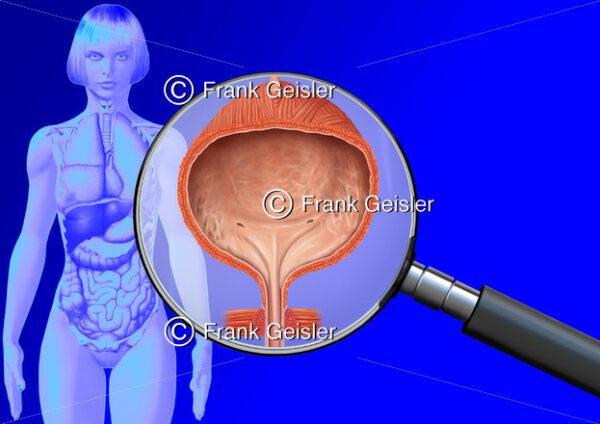 Medical Art Harnblase Vesica urinaria der Frau, innere Organe im menschlichen Körper - Medical Pictures
