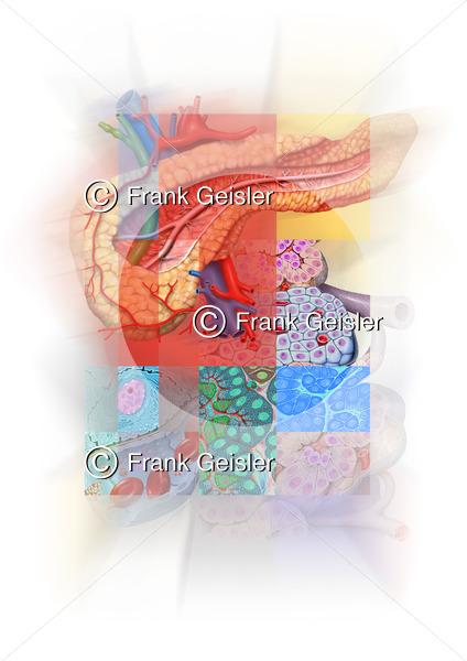 Medical Art Poster Bauchspeicheldrüse mit Inselzellen - Medical Pictures