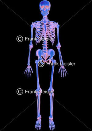 Medical Art Skelett des Menschen, Bestrahlung menschlicher Körper - Medical Pictures