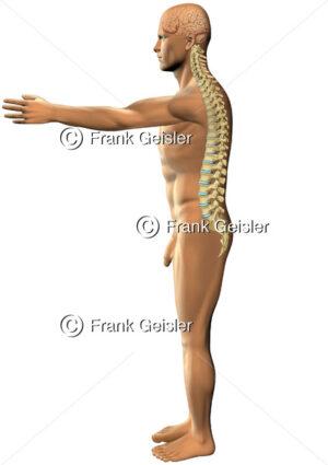 Mensch mit Gehirn und Wirbelkörper der Wirbelsäule von lateral - Medical Pictures