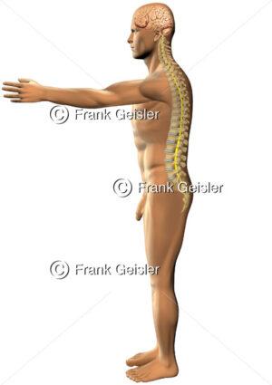 Mensch mit Zentralnervensystem ZNS, Wirbelsäule mit Rückenmark - Medical Pictures