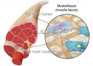 Muskel mit Muskelfasern sowie Gewebe der Faszien Muskelfaszien - Medical Pictures