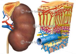 Niere mit Histologie der Nebenniere (3D-Schnitt) - Medical Pictures