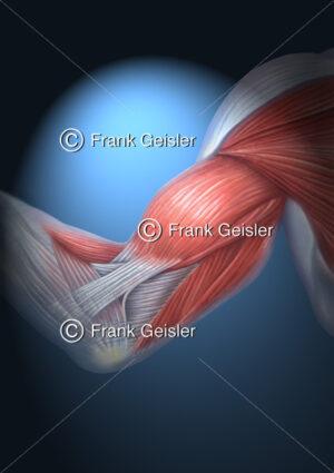 Oberarm mit Oberarmmuskeln, Bizeps (Beugemuskeln) und Trizeps (Streckmuskeln) - Medical Pictures