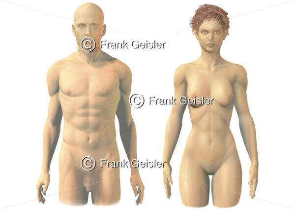 Oberflächenanatomie mit Geschlechtsorgane von Mann und Frau - Medical Pictures