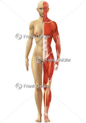 Oberflächlichenanatomie des Menschen, Muskelfrau mit Haut und Muskulatur von vorn - Medical Pictures