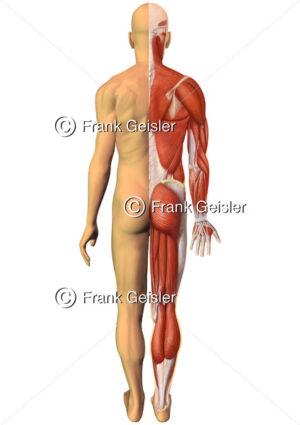 Oberflächlichenanatomie des Menschen, Muskelmann mit Haut und Muskulatur von dorsal - Medical Pictures