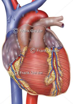 Organspende, Herz vor Herztransplantation in der Transplantationsmedizin - Medical Pictures