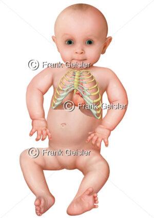 Pädiatrie, Organe beim Kleinkind, Brustkorb mit Lunge, Thymus und Herz - Medical Pictures