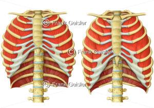 Physiologie Atmung, Rippen mit Zwischenrippenmuskeln bei Einatmung und Ausatmung - Medical Pictures