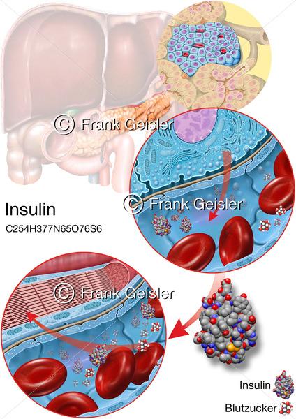 Physiologie Bauchspeicheldrüse, Insulinbildung und Insulin-Transport im Pankreas - Medical Pictures