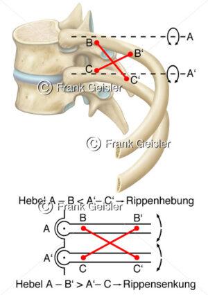 Physiologie Rippenhebung und Rippensenkung durch Zwischenrippenmuskeln - Medical Pictures