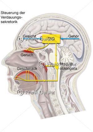 Physiologie Sekretion, Steuerung der Verdauung durch ZNS - Medical Pictures