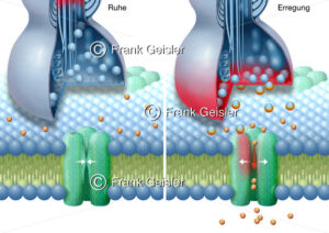 Physiologie Synapse mit Natriumkanal, Transmembranprotein der Zelle - Medical Pictures