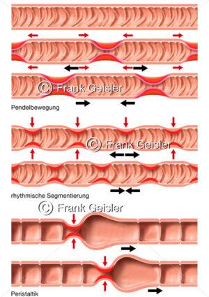 Physiologie Verdauung, Motorik, Pendelbewegung, Segmentierung und Peristaltik - Medical Pictures
