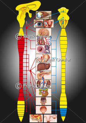 Physiologie vegetatives (autonomes) Nervensystem des Menschen - Medical Pictures