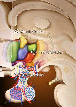 Thalamus, Hypothalamus und Hypophyse (Hirnanhangdrüse) - Medical Pictures