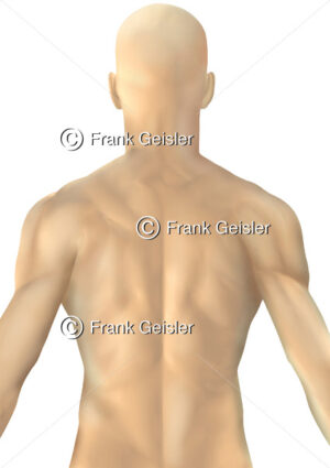 Thorax Mann, tastbare Strukturen (Muskulatur) von dorsal - Medical Pictures