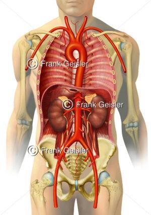 Thorax und Abdomen mit Aorta, große Schlagadern und Nieren - Medical Pictures