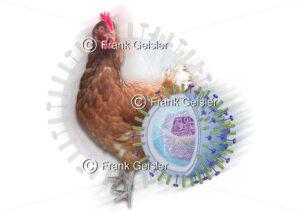 Vogelgrippe, Influenza-Virus bei Geflügel - Medical Pictures
