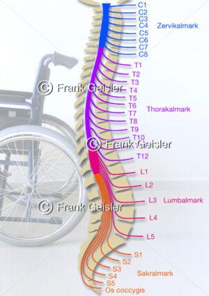 Wirbelsäule mit Rückenmark (Medulla spinalis) und Rückenmarksnerven bei  Rückenmarksverletzung - Medical Pictures