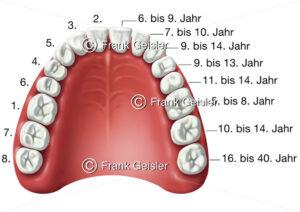 Zahnentwicklung, Zahnreihe (vollständig) und Gaumen eines Erwachsenen - Medical Pictures