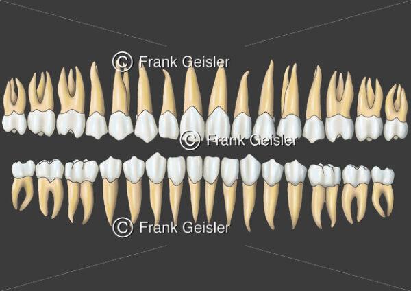Zahnreihen, Gebiss eines Erwachsenen - Medical Pictures