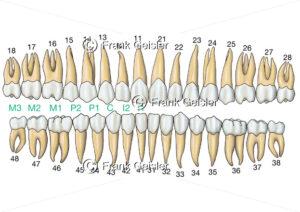 Zahnreihen mit Zahnformel beim Gebiss eines Erwachsenen - Medical Pictures