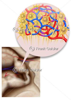 Zirbeldrüse (Epiphyse) mit Pinealozyten (hormonbildende Zellen) - Medical Pictures